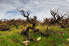 Arbusto sinistro mágico da uva Fotografia de Stock Royalty Free