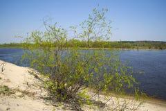 Arbusto solitario en la orilla del río Fotografía de archivo