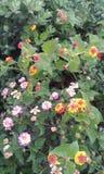 Arbusto surpreendente com flores bipartidos e as bagas maduras imagens de stock royalty free
