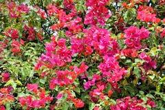 Arbusto tropical brilhante com flores Fotos de Stock