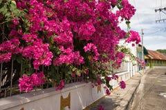 Arbusto tropical floreciente en Honda Colombia Foto de archivo libre de regalías