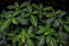 Arbusto tropicale Fotografia Stock Libera da Diritti