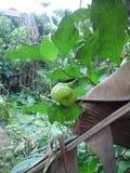 Arbusto tropicale dell'alberello fotografia stock