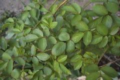 Arbusto verde Fotos de archivo libres de regalías