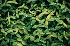 Arbusto verde Fotografia de Stock Royalty Free