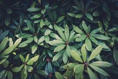 Arbusto verde Foto de Stock Royalty Free