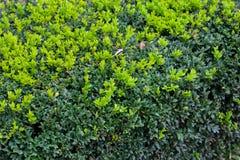 Arbusto verde imagens de stock royalty free