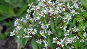 Arbusto verde con las pequeñas flores blancas Fotos de archivo libres de regalías