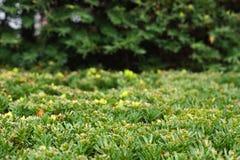 Arbusto verde del ajuste Fotografía de archivo