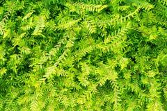 Arbusto verde della pianta in giardino Fotografia Stock