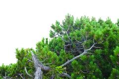 Arbusto verde do pinheiro isolado Imagens de Stock