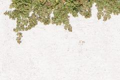 Arbusto verde en la pared blanca Fondo Imagen de archivo libre de regalías