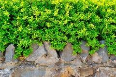 Arbusto verde en una cerca de piedra Fotografía de archivo