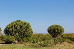 Arbusto verde enorme del cactus alto como un árbol Foto de archivo