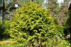 Arbusto verde grande Imágenes de archivo libres de regalías