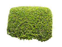 Arbusto verde isolado Imagem de Stock