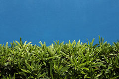 Arbusto verde na parede azul imagem de stock royalty free