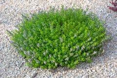 Arbusto verde pequeno Fotografia de Stock Royalty Free