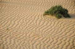 Arbusto verde que crece en desierto Imagen de archivo