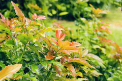 Arbusto verde vermelho com as folhas espinhosas pequenas Fotos de Stock