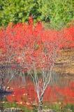 Arbusto vermelho da baga em torno da associação no inverno fotografia de stock royalty free