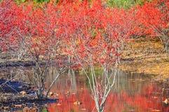 Arbusto vermelho da baga em torno da associação no inverno fotos de stock royalty free