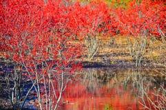Arbusto vermelho da baga em torno da associação no inverno imagens de stock
