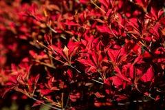 Arbusto vermelho da queda Imagens de Stock Royalty Free