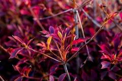Arbusto vermelho da queda Foto de Stock Royalty Free