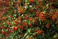 Arbusto vermelho das bagas Fotos de Stock Royalty Free