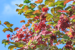 Arbusto vermelho do viburnum fotos de stock royalty free