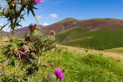 Arbusto y abeja de la espina en Latrigg, Keswick, Cumbria, Reino Unido fotos de archivo
