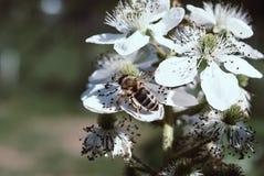Arbusto y abeja florecientes de zarzamora fotografía de archivo