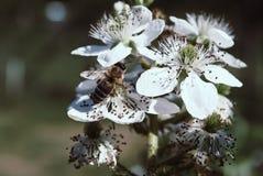 Arbusto y abeja florecientes de zarzamora imágenes de archivo libres de regalías