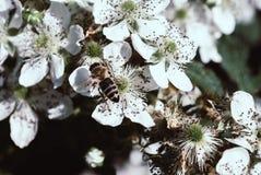 Arbusto y abeja florecientes de zarzamora imagenes de archivo