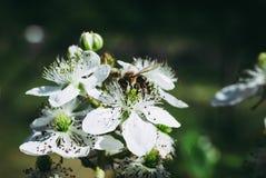 Arbusto y abeja florecientes de zarzamora fotografía de archivo libre de regalías