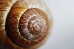 Arbustorum Arianta среднего размера вид улитки земли, иногда известный как улитка рощи, земный pulmonate gastropod стоковая фотография rf