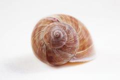 Arbustorum Arianta среднего размера вид улитки земли, иногда известный как улитка рощи, земный pulmonate gastropod стоковые изображения rf