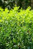 Arbustos Imagens de Stock Royalty Free