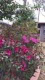 Arbustos bastante rosados de la flor Fotografía de archivo libre de regalías