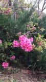 Arbustos bastante rosados de la flor Imagen de archivo