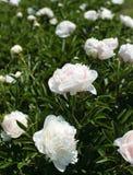 Arbustos blancos de la peonía Foto de archivo