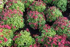 arbustos Bola-formados del morifolium rojo del crisantemo imágenes de archivo libres de regalías