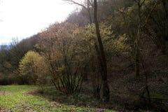 Arbustos côr de avelã na flor adiantada, estação suave do inverno em Alemanha na área de Middlerhine Fotografia de Stock