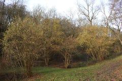 Arbustos côr de avelã na flor adiantada, estação suave do inverno em Alemanha na área de Middlerhine Fotos de Stock