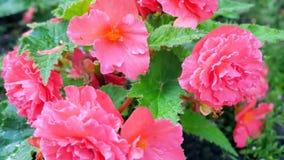 Arbustos color de rosa florecientes en el jardín Imágenes de archivo libres de regalías