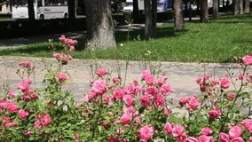 Arbustos color de rosa rojos