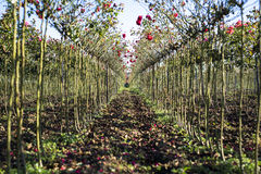 Arbustos color de rosa rojos en perspectiva Fotos de archivo libres de regalías