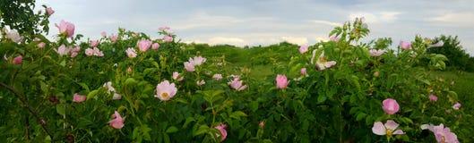 Arbustos color de rosa rosados florecientes del perro salvaje Imagen de archivo