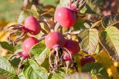 Arbustos color de rosa salvajes Colores de la naturaleza imagen de archivo libre de regalías